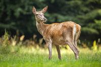 Alert red deer hind looking behind over shoulder on a meadow in summer