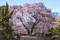 weeping cherry in changdeok palace