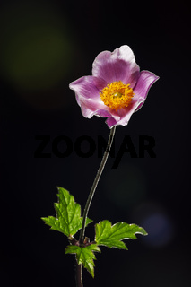 Anemone hupehensis with lens flares _ Herbst-Anemone