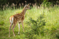 Curious red deer calf exploring green nature in summertime.