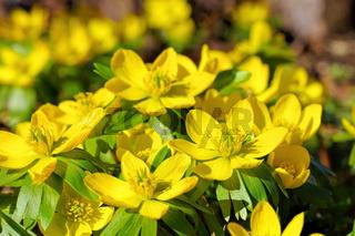Winterlinge in gelben Farben  - winter aconite is blooming in yellow  colours