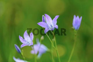 beautiful spring flower Campanula Patula