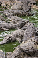 many crocodiles lie alternately in the water. Natural background