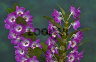 Orchidee, Dendrobium amabile, orchid