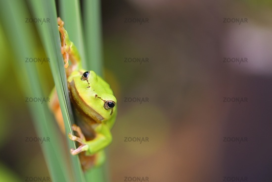 Curious european tree frog griping on grass in spring with copy space