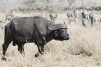 large adult male African buffalo walking on the savannah