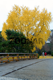 The gingko tree covered with golden leafs