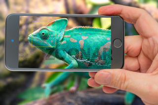 Chameleon on smartphone screen. Young green chameleon. Natural habitat. Cute pet. Fauna of nature.