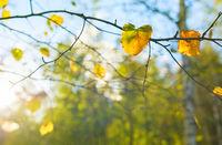 Autumn birch tree leaves sunlight