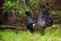 Proud western capercaillie strutting in the morning sunlit forest