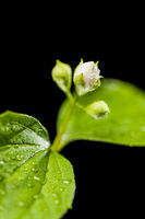 Buds of a philadelphus coronarius on black_aperture 5.6