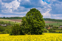 Spring countryside view with linden tree, rapeseed yellow blooming fields, village, hills. Natural seasonal, good weather, climate, eco, farming, countryside beauty concept.