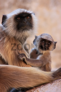 Gray langur with a baby sitting at the temple, Pushkar, India