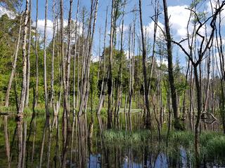 Erlenbruchwald und totes Holz an der Briese im Frühling