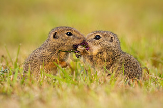 Two european ground squirrel standing close together and kissing
