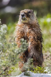 Amerikanisches gelbbäuchige Murmeltier (Marmota flaviventris)
