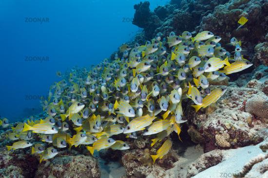 Blaustreifen-Schnapper, Malediven