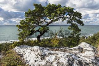 Waldkiefer, Pinus sylvestris (englisch: Scots pine), Naturreservat Hall-Hangvar, Gotland