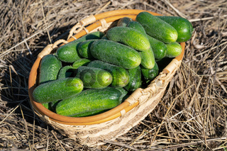 Freshly picked green organic cucumbers in wicker basket standing on hay. Healthy eco vegetables on agricultural farm in summer sunny day.