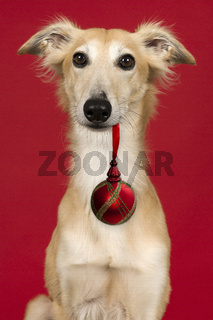 Portrait of a cute silken windsprite looking at the camera on a red background with a christmas ornament in its mouth
