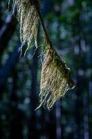 Old Man's Beard, Usnea sp., a lichen, on tree branch, Hamilton Marsh, BC, Canada