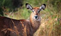 Defassa-Wasserbock im Murchison Falls Nationalpark Uganda (Kobus defassa) | Defassa waterbuck, Murchison Falls National Park Uganda (Kobus defassa)