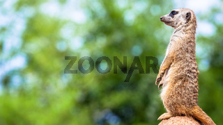 Meerkat surveillance and vigilance. Control of the territory, alert and protection of the group.