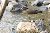 Hamerkop standing on stones by the lake