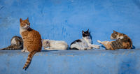Stray cats in blue background in Chefchaouen, Morocco
