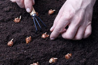Gardener planting flower bulbs