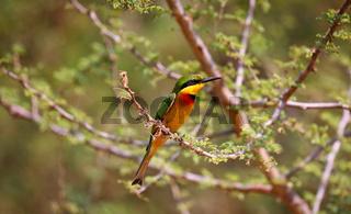 Zwergspint im Murchison Falls Nationalpark, das Wappentier in Uganda (Merops pusillus) | little bee-eater, Murchison Falls National Park Uganda (Merops pusillus)