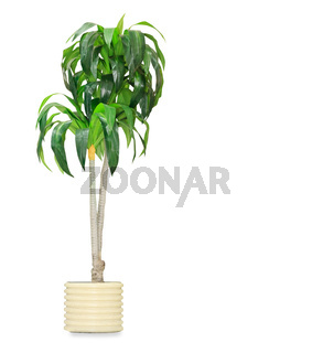 Big dracaena palm in a pot isolated over white