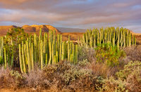 Desert area with plants in the south of Tenerife at sunset