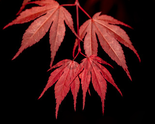 red maple leaf on black for natural background