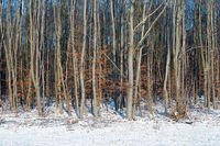 Dutch winter landscape with wood of birches in snowy environment