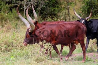 Ankole-Rinder in Uganda | Ankole cattle in Uganda