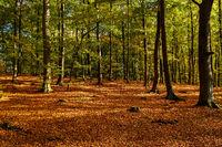 Herbstlicher Buchenwald am Hellsee im Naturschutzgebiet Biesenthaler Becken