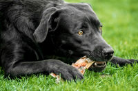 A black labrador retriever lies in the grass and chews a bone