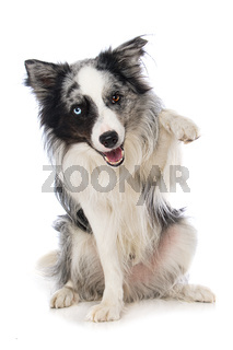 Border collie dog on white background