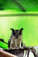 Collared scops-owl (Otus bakkamoena) winter plumage
