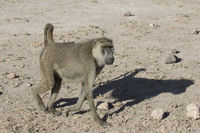 yellow baboon in the african savannah