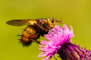 Fly on a thistle, Tachina fera