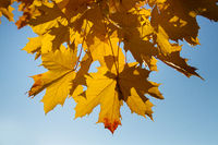 Autumn maple tree with bright orange foliage