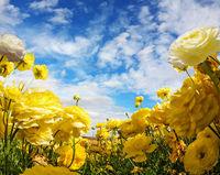 Large buttercups bloom on a farm field