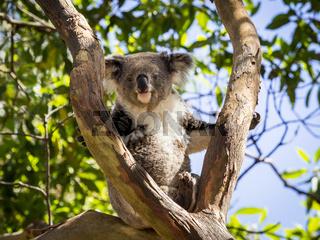 Close up of Koala bear in tree