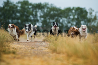 Border collie dogs on a summery dirt road