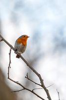 bird European Robin Red Breast