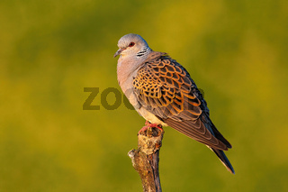 European turtle dove sitting perched on branch with blurred yellow background