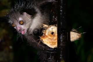 The rare, nocturnal aye-aye lemur with a coconut