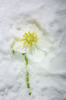 Christrose im Eis